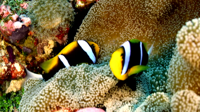 close up of clownfish swimming in anemone - anemonefish stock videos & royalty-free footage