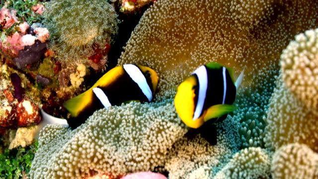 close up of clownfish swimming in anemone - クマノミ亜科点の映像素材/bロール