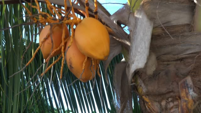 close up of coconut fruits hanging on the tree - tropical tree stock videos & royalty-free footage