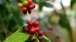 Close up of coffee beans (fruits) on a coffee tree