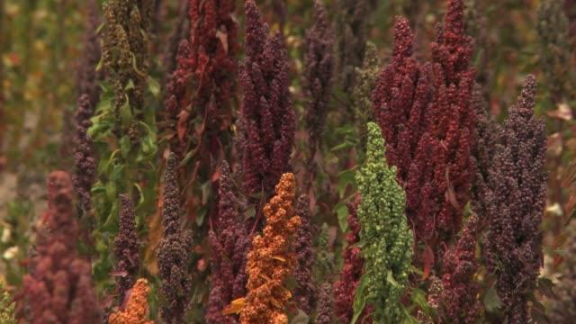 Close up of colorful Quinoa plants in Bolivia
