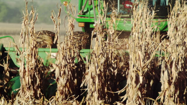 Close up of combine augers picking corn in a field.