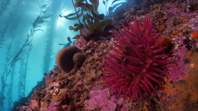 close up of coral reef by kelps underwater - carmel by the sea, california - waschschwamm stock-videos und b-roll-filmmaterial