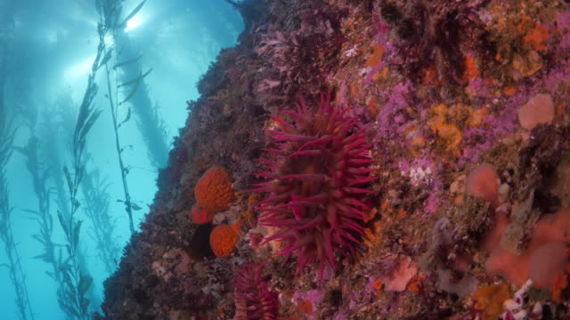 close up of coral reef by laminariales underwater - carmel by the sea, california - waschschwamm stock-videos und b-roll-filmmaterial