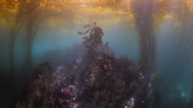 close up of coral reef under seaweed floating on sea surface - carmel by the sea, california - kelp stock-videos und b-roll-filmmaterial