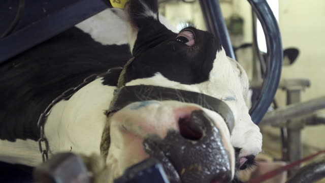 Close up of cow while a farmer is grinding her hooves
