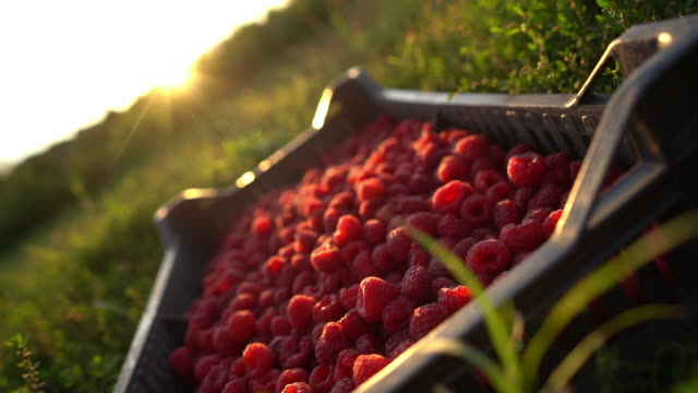 close up of crate full of fresh red raspberries - brambleberry stock videos & royalty-free footage
