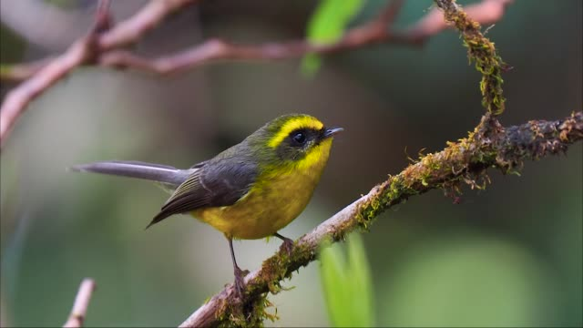 close up of cute small yellow and gray bird perched on twig against green blurred background and singing - grasmückenartige stock-videos und b-roll-filmmaterial