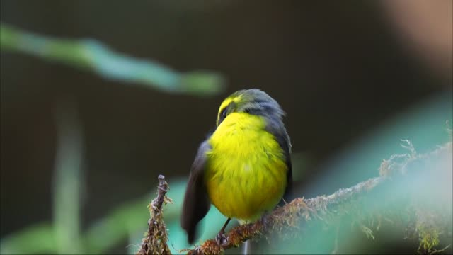 close up of cute small yellow and gray bird perched on twig and preening its feathers - grasmückenartige stock-videos und b-roll-filmmaterial