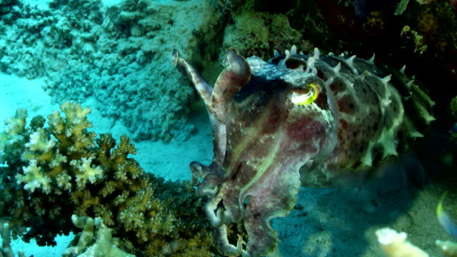 close up of cuttlefish floating in reef - cuttlefish stock videos & royalty-free footage