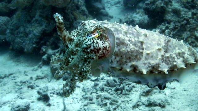 close up of cuttlefish moving and camouflaging through reef - cuttlefish stock videos & royalty-free footage