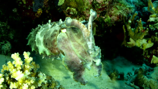 close up of cuttlefish swimming in reef - cuttlefish stock videos & royalty-free footage