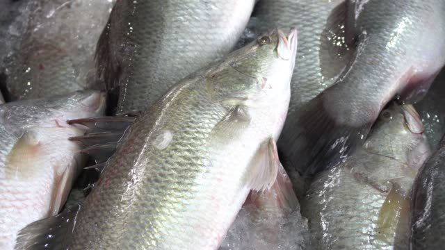close up of dead giant sea perch fish on ice in stall at the market. - perch fish stock videos and b-roll footage