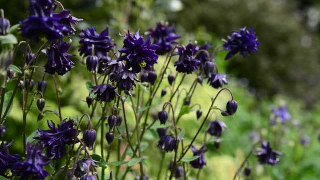 Close up of deep purple Aquilegia in an English garden