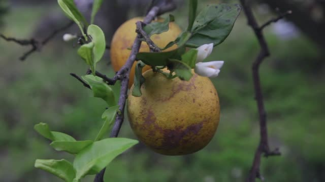 close up of disease infested orange. guy davis is part of a team trying to track the movement of the insect. there is no known cure for the disease... - オレンジ果樹園点の映像素材/bロール