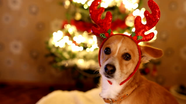 close up of dog with reindeer's antlers on the christmas eve - antler stock videos & royalty-free footage