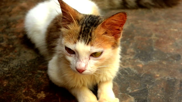 close up of domestic cat resting outdoor - cat blinking stock videos & royalty-free footage