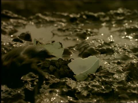 vídeos de stock e filmes b-roll de close up of duckling crawling out of hatched egg + quacking in mud / indonesia - organismo aquático