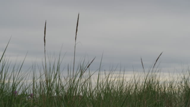 Close up of dune grass with a cloudy sky.