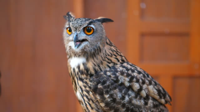 close up of eagle owl - animal body part stock videos & royalty-free footage