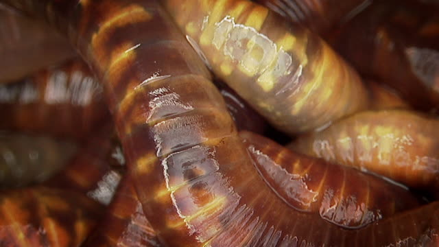 close up of earthworms moving over each other - worm stock videos and b-roll footage