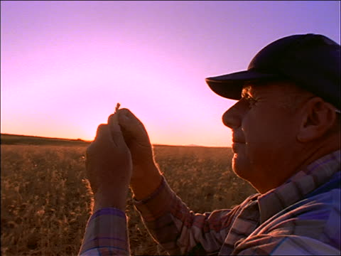 close up of elderly farmer examining wheat in field / sunset - solo un uomo anziano video stock e b–roll