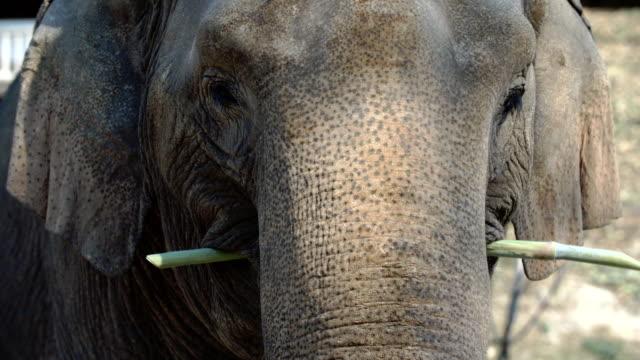 Close up of elephant eating sugarcane