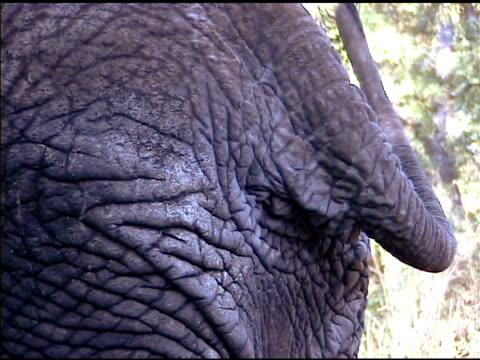 nahaufnahme von elefanten-tail wagging - tierhaut stock-videos und b-roll-filmmaterial