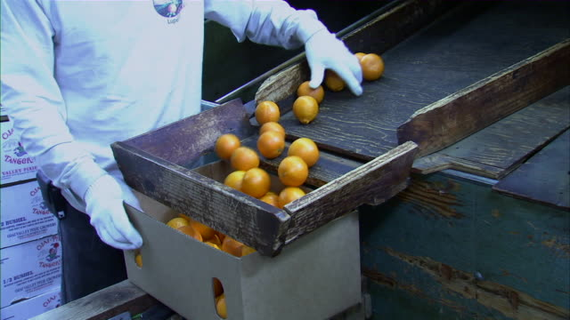close up of employee bagging tangerines. - orchard stock videos & royalty-free footage