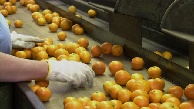 close up of employee sorting tangerines on conveyor belt. - orange stock videos & royalty-free footage