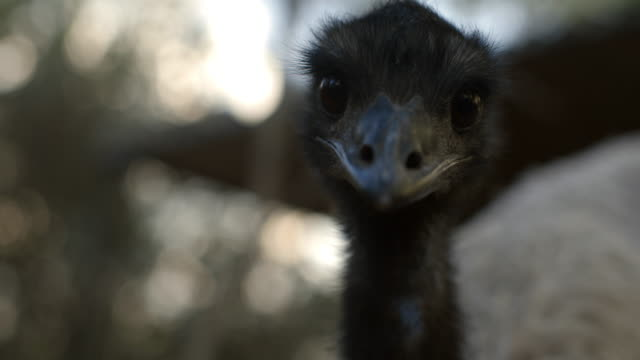 close up of emu looking to camera and walking away - captive animals stock videos & royalty-free footage