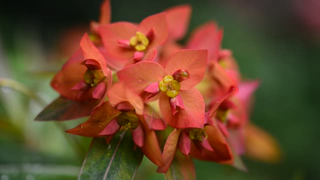 close up of euphorbia griffithii 'fireglow' - flowering plant stock videos & royalty-free footage