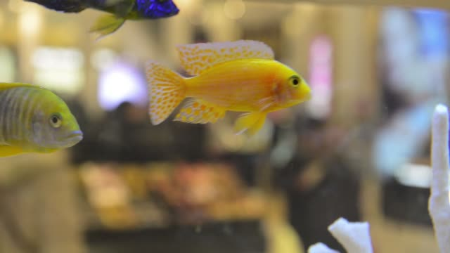 A close up of exotic fish swimming in a fish tank inside Macy's Department Store in Herald Square New York NY Macy's Fish Tank on March 06 2014 in...