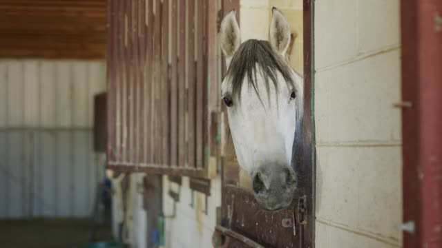 close up of face of horse in stable / lehi, utah, united states - lehi stock videos & royalty-free footage