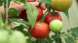Close up of farmer's male hands picks red ripe tomato in drops of dew from branch in greenhouse. Harvest time.