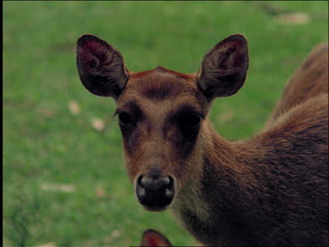 close up of fawn's face / brazil - herbivorous stock videos & royalty-free footage