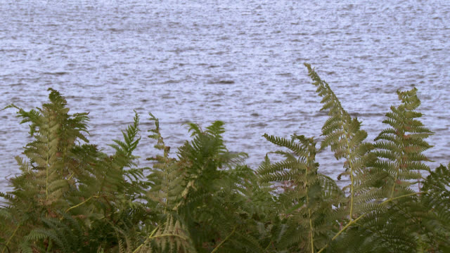 close up of fern blowing in the wind with a loch in the background - fern stock videos & royalty-free footage