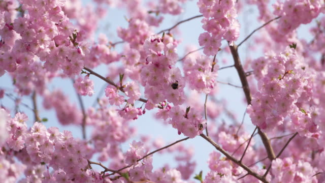 Close up of flowering cherry branches with bumblebee in spring, Prunus serrulata. Bavaria, Germany.