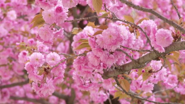 vídeos de stock e filmes b-roll de close up of flowering cherry tree in spring, prunus serrulata. bavaria, germany. - estame