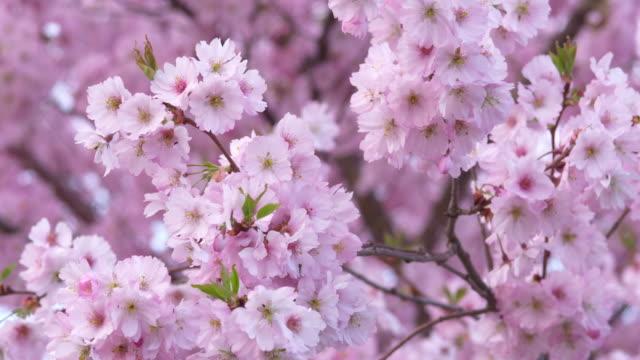 vídeos de stock, filmes e b-roll de close up of flowering cherry tree in spring, prunus serrulata. bavaria, germany. - processo vegetal