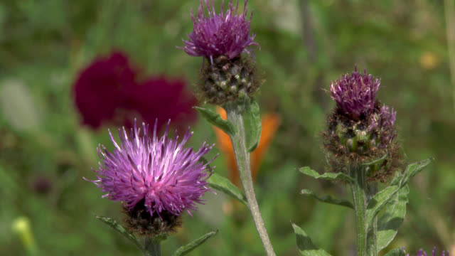 close up of flowers swaying in the wind - galloway scotland stock videos & royalty-free footage