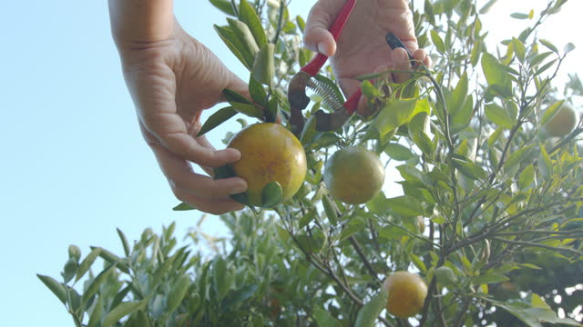 close up of gardener hand picking an orange with scissor in the oranges field garden in the morning time with slow motion shot. - video stock videos & royalty-free footage