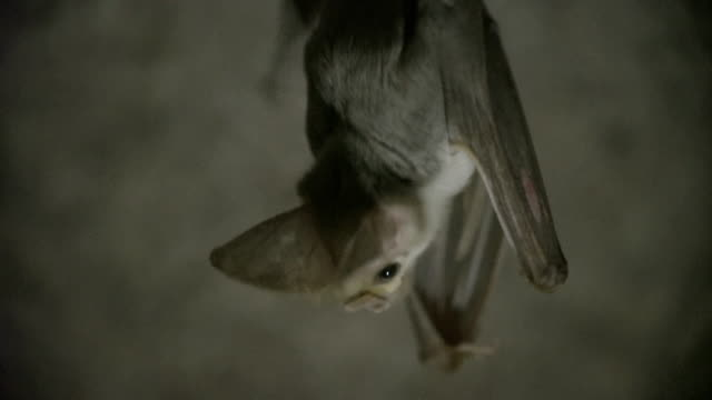 vidéos et rushes de close up of ghost bat hanging upside down - comportement animal
