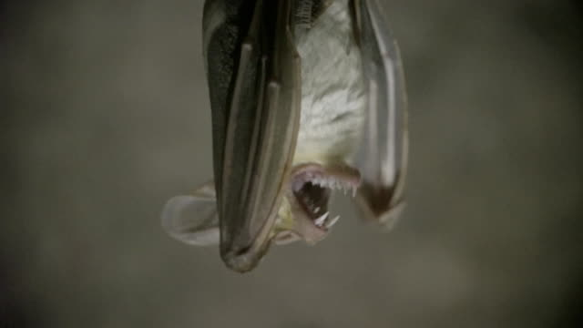 close up of ghost bat preening while hanging upside down - pipistrello video stock e b–roll