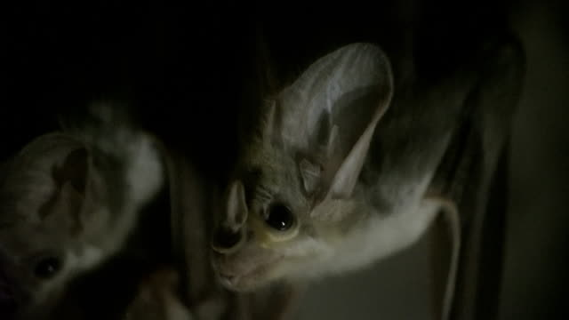 close up of ghost bats hanging upside down - hanging stock videos & royalty-free footage
