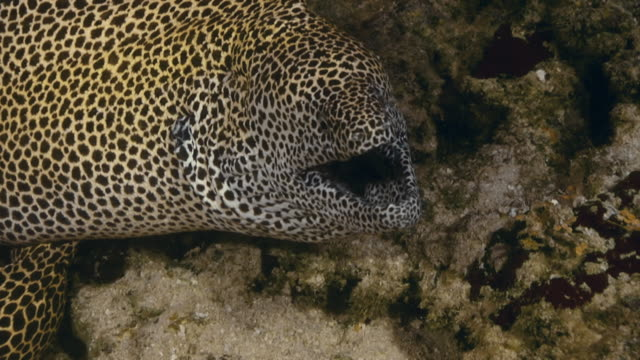 Close up of giant spotted moray eel