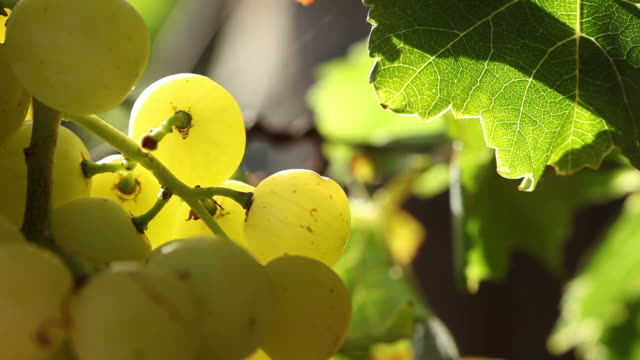 close up of grapes hanging from a vine - paarl stock videos & royalty-free footage