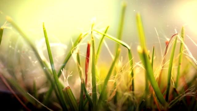 Close up of Grass in wind. HD