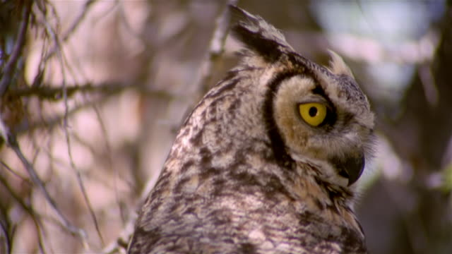 Close up of great horned owl [Bubo virginianus] with back facing camera looking directly at camera / turning head / Snake River Birds of Prey National Conservation Area, Idaho
