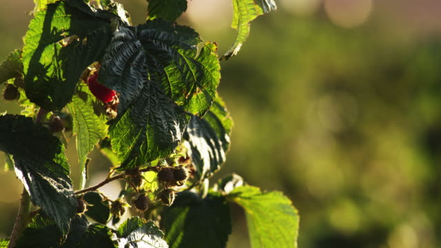 close up of green and ripe raspberries on bush - leaf vein stock videos and b-roll footage